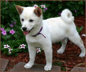 日本の犬のブリーダーになる方法