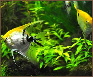 熱帯魚のブリーダーはやりやすい